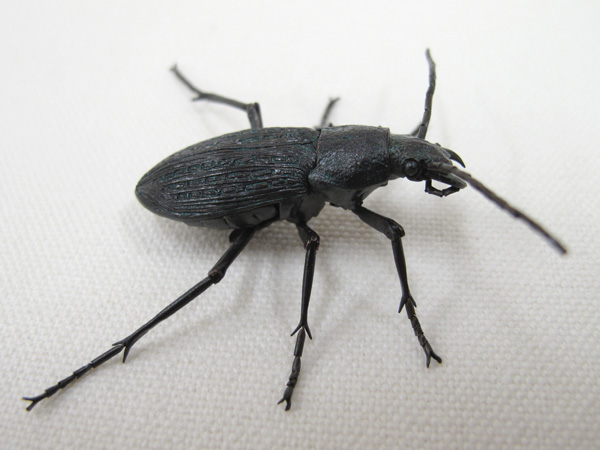 Jizai ground beetles
